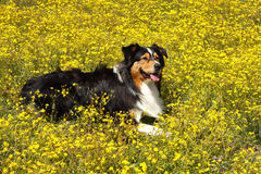 Australian Shepherd in the flowers Royalty Free Stock Photo