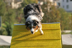 Australian shepherd on A-frame. An australian shepherd doing agility, coming over A-frame royalty free stock photography