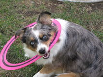 Miniature American Shepherd With Frisbee. Miniature American Australian With Pink Frisbee stock image