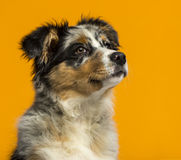 Australian Shepherd in front of an orange backg Stock Photography