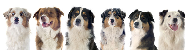 Circle C Australian Shepherds Mongrel dog sto...
