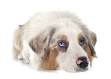 Australian shepherd. In front of white background royalty free stock image