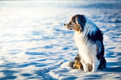 Australian shepherd with frostbitten fur sitting in the snow royalty free stock photography