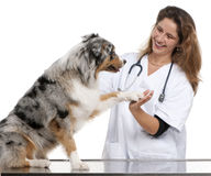 Australian Shepherd giving its paw to a vet Stock Photo
