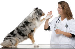 Australian Shepherd giving its paw to a vet Stock Photos