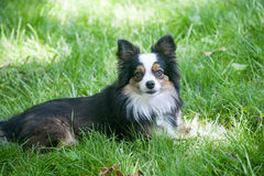 Australian Shepherd Grass Stock Photos