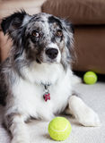 An Australian Shepherd with a guilty look Royalty Free Stock Photography