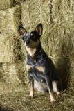 Australian Shepherd on a Hay Bale Royalty Free Stock Photo