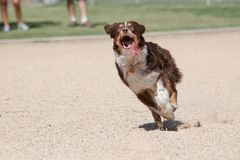 Australian Shepherd with his tongue out running for a toy Stock Photos