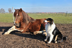 Australian Shepherd with horse Stock Photo