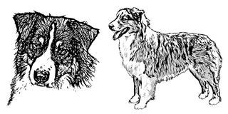 Australian shepherd illustration Royalty Free Stock Photography