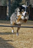 Australian Shepherd Jumping Hurdle Royalty Free Stock Photography