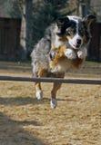 Australian Shepherd Jumping Hurdle Royalty Free Stock Photography