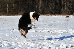 Australian Shepherd jumping Royalty Free Stock Images