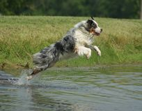 Australian shepherd jumping in pond. Australian shepherd dog jumping in water for ball Royalty Free Stock Photos