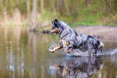 Australian Shepherd jumps in a lake Royalty Free Stock Image