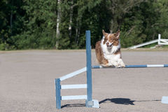 Australian shepherd jumps over an agility hurdle Stock Images