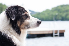 Australian shepherd at the lake Stock Photos