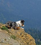 Australian Shepherd on Lookout. This image of the young australian shepherd lying on the legde overlooking the valley was taken in NW Montana Stock Photos