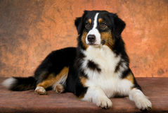 Australian Shepherd lying on brown background Stock Images