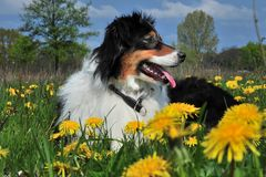 Australian Shepherd Royalty Free Stock Photography