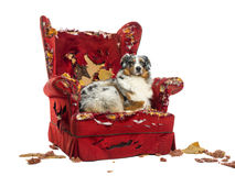 Australian Shepherd lying on a detroyed armchair, isolated Royalty Free Stock Images
