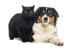 Australian Shepherd lying next to a Black Cat Royalty Free Stock Images