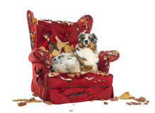 Australian Shepherd lying proudly on a detroyed armchair Royalty Free Stock Images