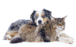 Australian shepherd and maine coon Stock Images