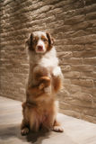 Australian Shepherd makes rabbit. On a background of a brick wall Stock Images