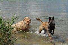 Australian shepherd and Malinois shepherd dog. Australian shepherd and Malinois shepherd who jump into the water Royalty Free Stock Image