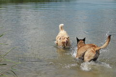 Australian shepherd and Malinois shepherd. Who jump into the water Royalty Free Stock Images