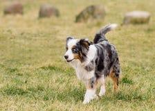Australian Shepherd on meadow. Australian Shepherd purebred dog on meadow in autumn or spring, outdoors countryside. Blue Merle Aussie adult dog Stock Image