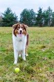 Australian shepherd on meadow. Cute puppy of australian shepherd on meadow with ball Royalty Free Stock Photography