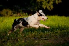 Australian Shepherd merle puppy running Stock Photos