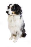 Australian Shepherd Stock Images