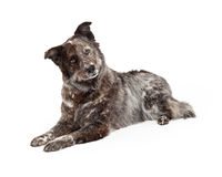Australian Shepherd Mix Breed Dog Laying Royalty Free Stock Images
