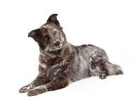 Australian Shepherd Mix Breed Dog Laying Royalty Free Stock Images