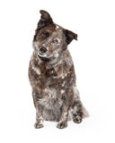 Australian Shepherd Mix Breed Dog Sitting Royalty Free Stock Images