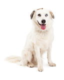 Australian Shepherd Mix Breed Dog Sitting Royalty Free Stock Photo