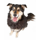 Australian Shepherd Mix Dog Isolated on White Stock Images