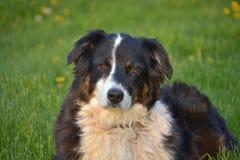 Australian Shepherd Mix royalty free stock image