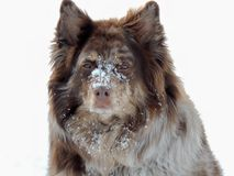Australian Shepherd Mix playing in the snow Stock Photo