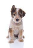 Australian Shepherd Mix Puppy Stock Images