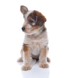 Australian Shepherd Mix Puppy Stock Image