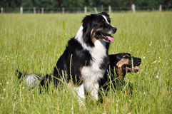 Australian Shepherd and mongrel. Australian Shepherd dog and mongrel on pasture at summertime Royalty Free Stock Images