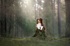 The Australian shepherd this morning in the woods Royalty Free Stock Image