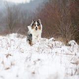 Australian shepherd moving in winter Royalty Free Stock Image