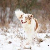 Australian shepherd moving in winter Stock Photography