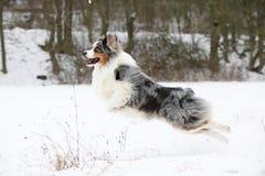 Australian shepherd moving in winter Royalty Free Stock Photo